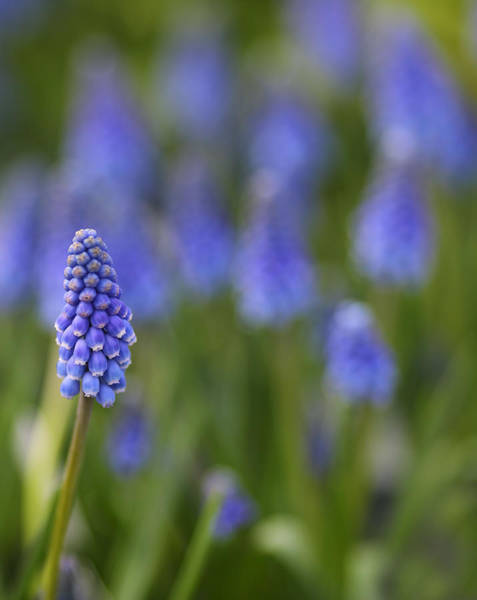 Bluebell Photograph - Standout by Rebecca Cozart