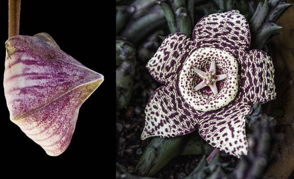 Digital Art - Stapelia Bud And Blossom by Photographic Art by Russel Ray Photos