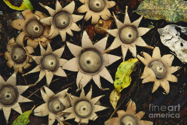 Photograph - Star Fungus In Uganda by Art Wolfe