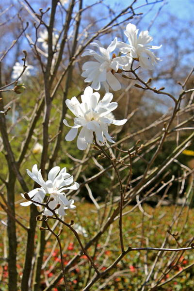 Photograph - Star Magnolias by Felix Zapata