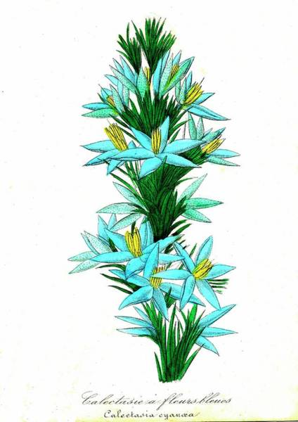 Bethlehem Wall Art - Photograph - Star Of Bethlehem In Flower by Collection Abecasis/science Photo Library