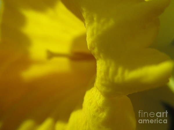 Dafodil Photograph - Star Of The Show by Martin Howard