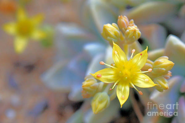 Photograph - Starburst by Kelly Holm