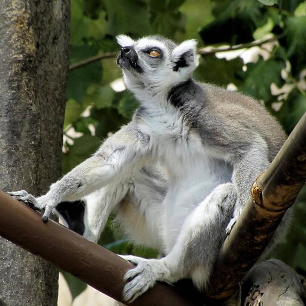 Photograph - Lemur Stare by Bob Slitzan