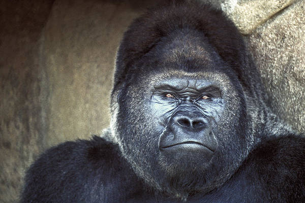 Wall Art - Photograph - Stare-down - Gorilla Style by Paul W Faust -  Impressions of Light