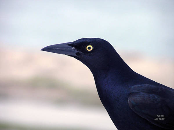 Painting - Stare Of The Male Grackle by Adam Johnson