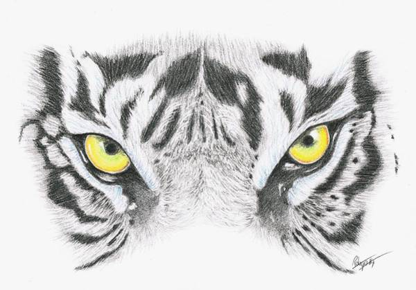 White Tiger Drawing - Stare by Robyn Green