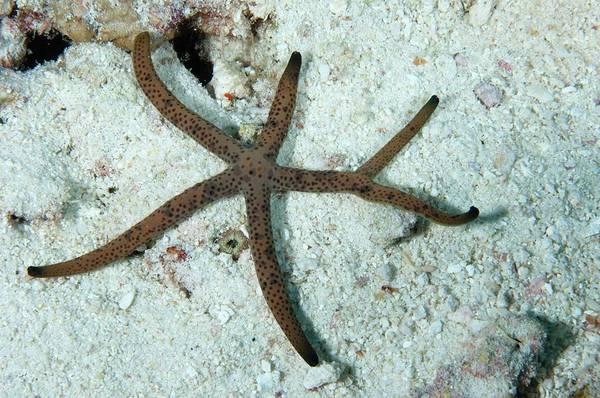 The Maldives Photograph - Starfish by Scubazoo/science Photo Library