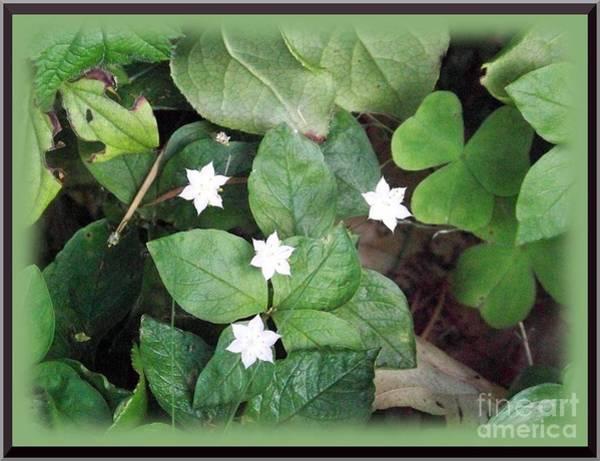 Photograph - Starflower by Charles Robinson
