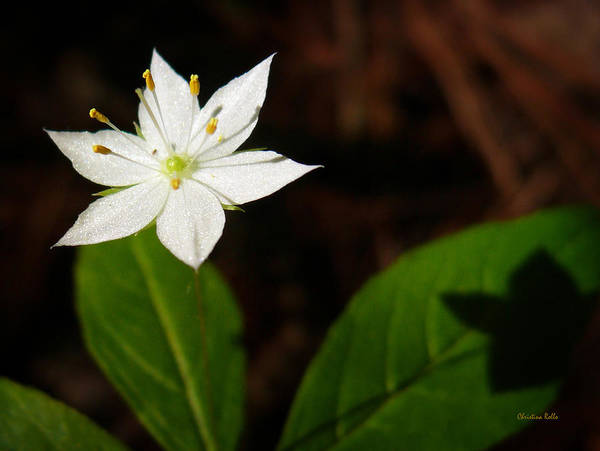 Photograph - Starflower by Christina Rollo