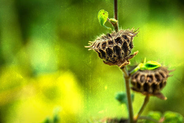 Seed Head Wall Art - Photograph - Stark Beauty by Jon Woodhams