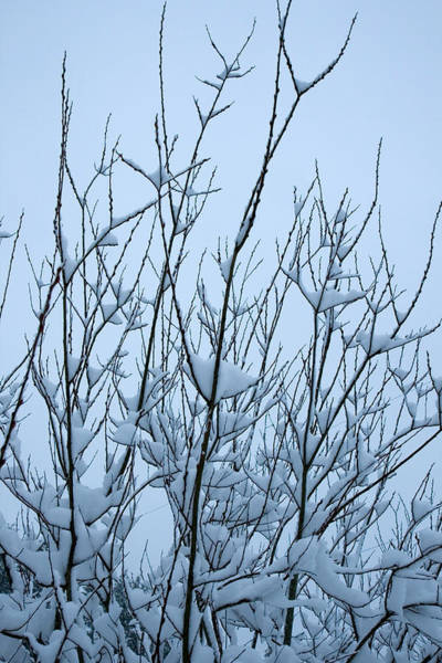 Photograph - Stark Beauty - Snow On Branches by Denise Beverly