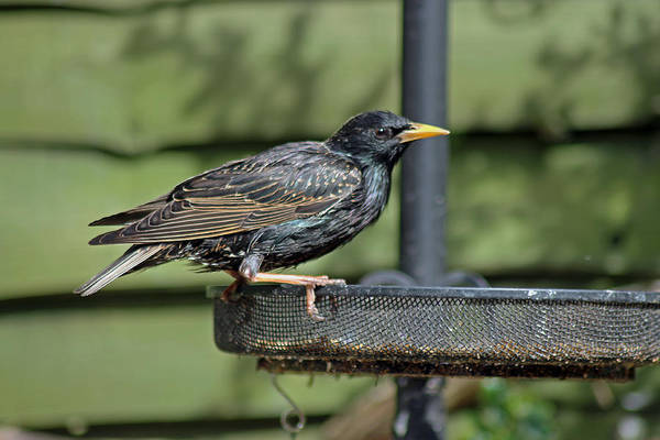Photograph - Starling On Bird Feeder by Tony Murtagh