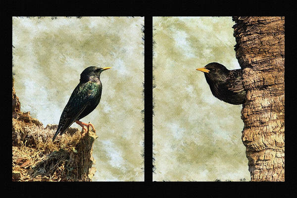 Photograph - Starling Pair by Dawn Currie