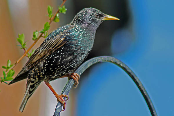 Starling Perched In Garden Art Print