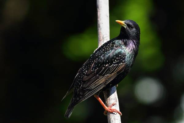 Photograph - Starling Stare by Mike Farslow