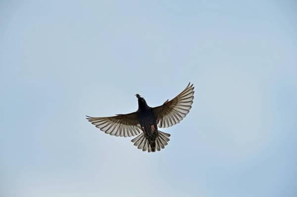 Wing Back Photograph - Starling Strurnus Vulgarus Carrying Food by David Tipling