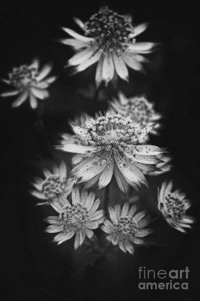 Astrantia Photograph - Starry Cluster by Venetta Archer