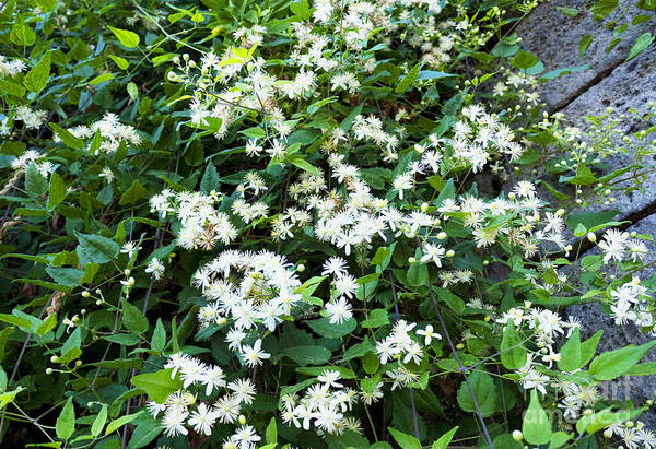 Photograph - Starry White Clematis by Brenda Kean