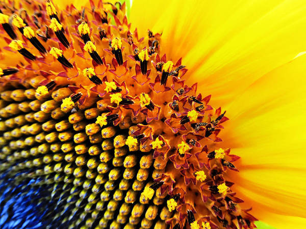 Sunflower Seeds Photograph - Stars Of The Sun by Marianna Mills