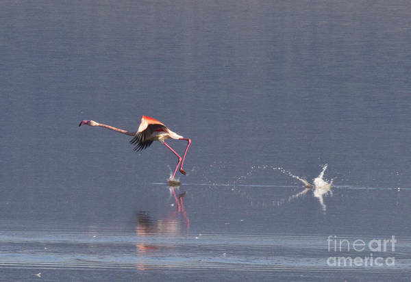 Photograph - Starting To Fly by Heiko Koehrer-Wagner