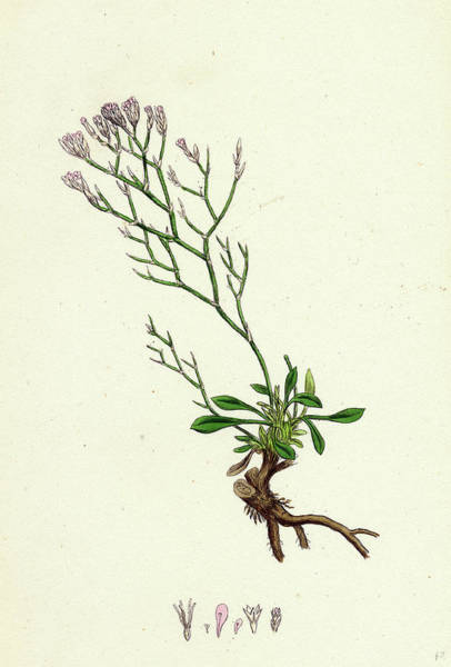 Mat Drawing - Statice Caspia Matted Sea-lavender by English School
