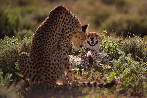 Feline Photograph - Stay Away by Mohammed Alnaser