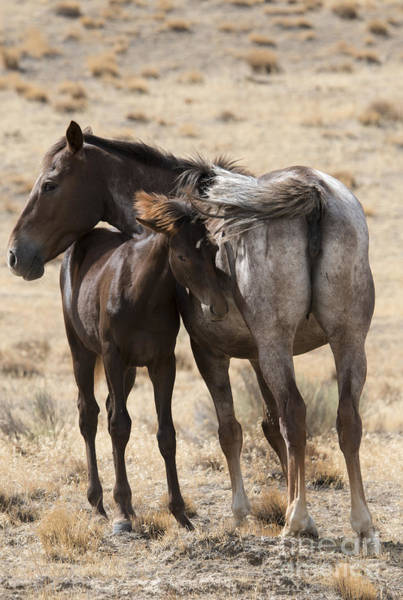 Mare Photograph - Staying Close by Mike Dawson