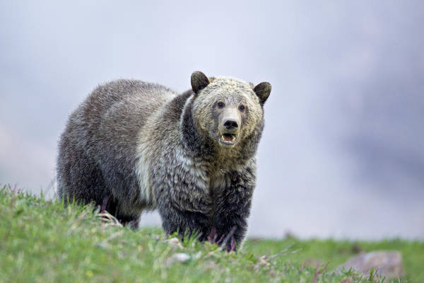 Photograph - Steamboat Grizzly by D Robert Franz