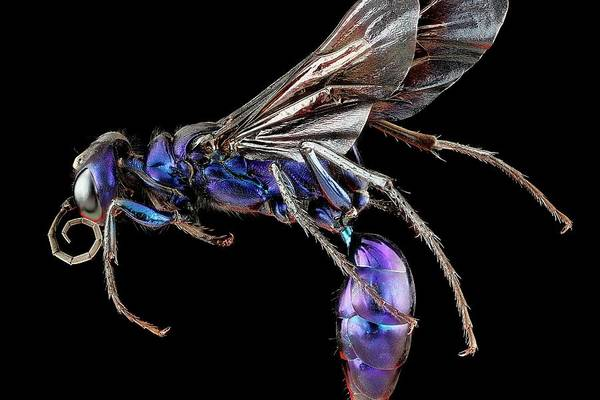 Wasp Photograph - Steel Blue Cricket Hunter Wasp by Us Geological Survey