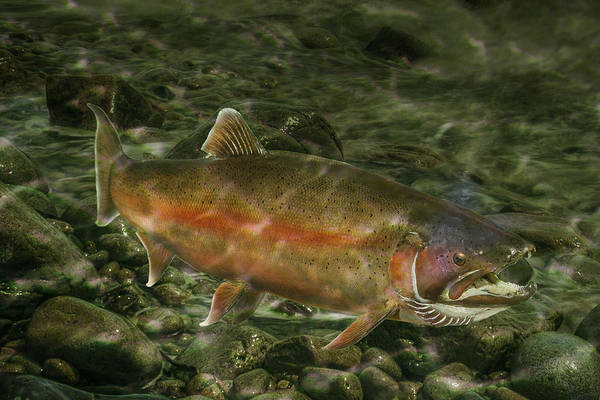 Angling Art Wall Art - Photograph - Steelhead Trout Spawning by Randall Nyhof