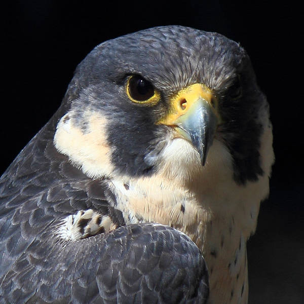 Peregrine Photograph - Steely Stare by Randy Hall