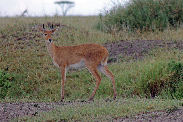 Photograph - Steenbok Antelope by Tony Murtagh