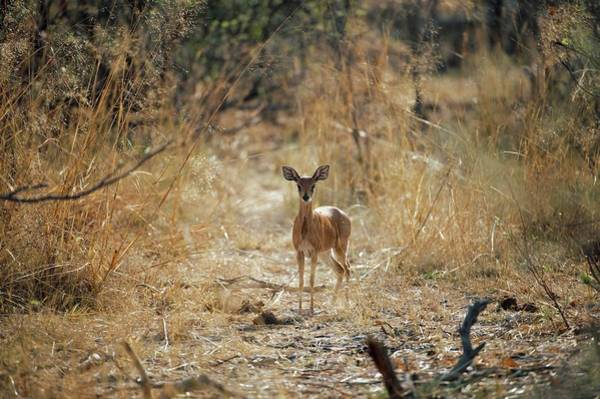 Wall Art - Photograph - Steenbok by Dr P. Marazzi/science Photo Library