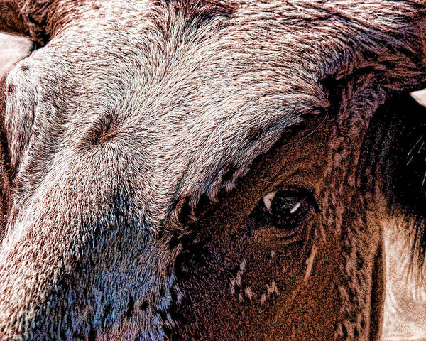 Photograph - Steers Looking At You by William Havle