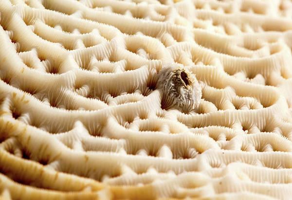 Zoological Photograph - Steganoporella Bryozoan by Natural History Museum, London