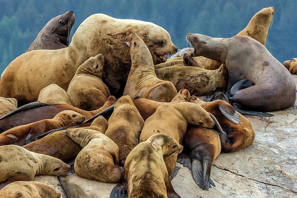 Wall Art - Photograph - Steller Sea Lions, Glacier Bay National by Art Wolfe