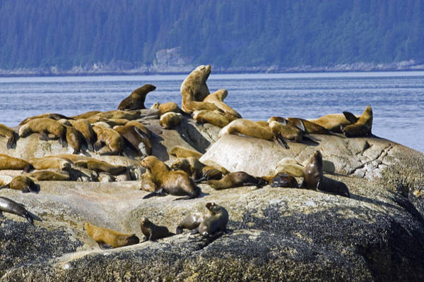 Laying Out Photograph - Steller Sea Lions On Haulout South by Don Pitcher