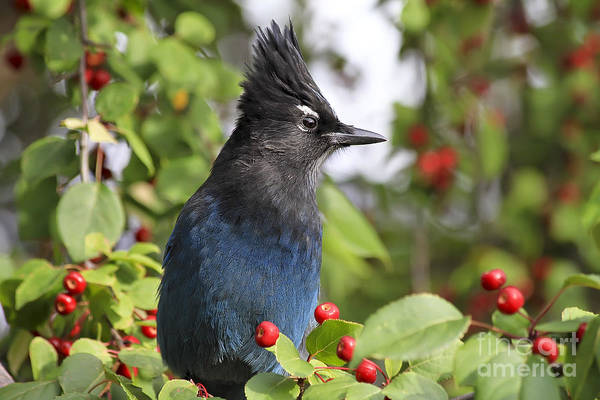National Bird Photograph - Steller's Jay And Red Berries by Teresa Zieba