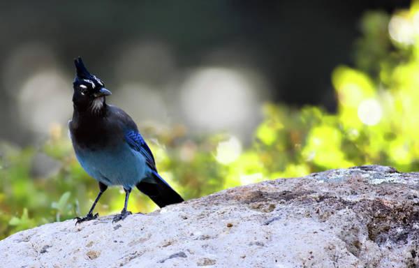 Wildbird Photograph - Steller's Jay by Lana Trussell