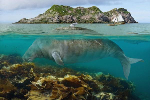 Sea Cow Photograph - Steller's Sea Cow by Roman Uchytel/science Photo Library
