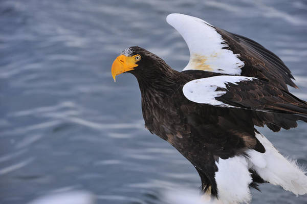 Eagle In Flight Photograph - Stellers Sea Eagle Taking Flight by Thomas Marent