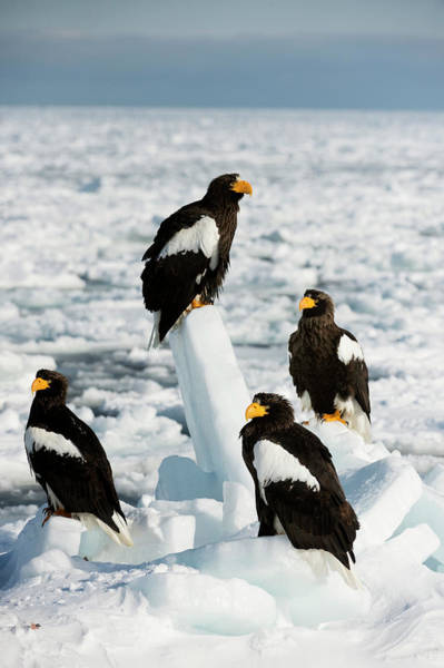 Behaviour Photograph - Steller's Sea Eagles On Sea Ice by Dr P. Marazzi