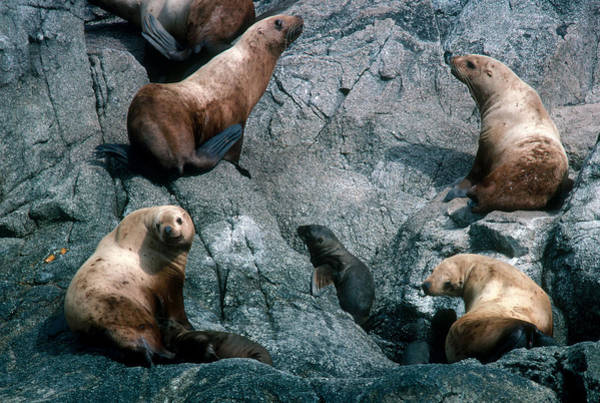 Wall Art - Photograph - Stellers Sea Lions by Robert Hernandez