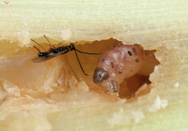 Biological Pest Control Photograph - Stem Borer And Parasitic Wasp by Pascal Goetgheluck/science Photo Library
