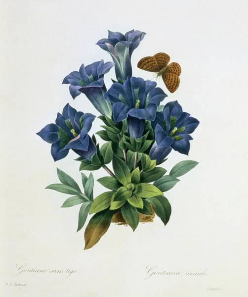 Hand Painted Photograph - Stemless Gentian Gentiana Acaulis by Natural History Museum, London/science Photo Library