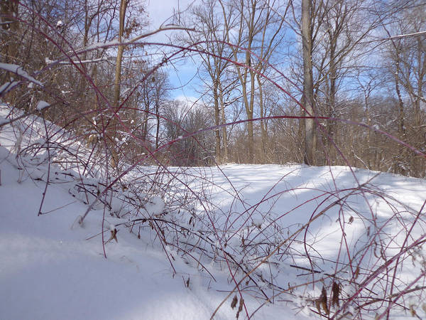 Iowa Photograph - Stems In Snow by Jacque Hudson