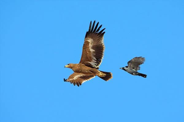 Corvidae Photograph - Steppe Eagle And Crow by Bildagentur-online/mcphoto-schaef/science Photo Library