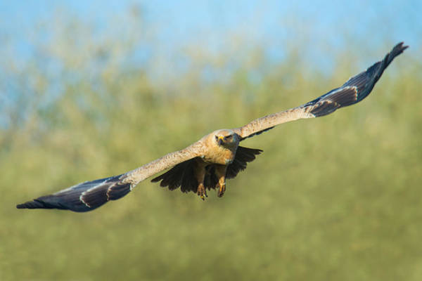 Wall Art - Photograph - Steppe Eagle Aquila Nipalensis by Panoramic Images