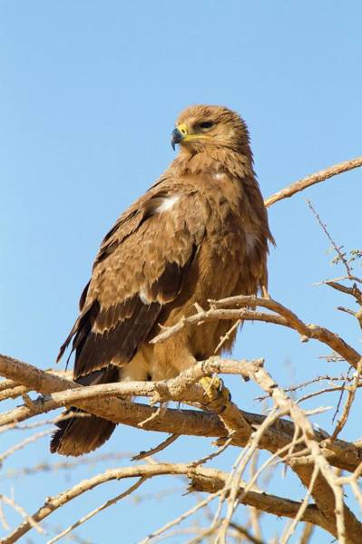 Accipitridae Wall Art - Photograph - Steppe Eagle (aquila Nipalensis) by Photostock-israel